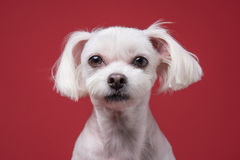 Maltese puppy studio portrait. Shot Stock Images