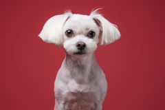 Maltese puppy studio portrait. Shot Stock Image