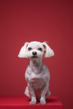 Maltese puppy studio portrait. Shot Stock Photo