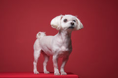 Maltese puppy studio portrait. Shot Royalty Free Stock Photos