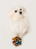 Maltese puppy. With toy cube on white background Stock Photo