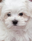 Maltese Puppy Royalty Free Stock Photo