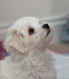 Maltese Puppy Stock Photos
