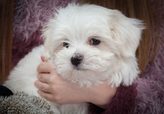 Maltese Puppy Stock Images