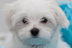 Maltese Puppy Stock Image