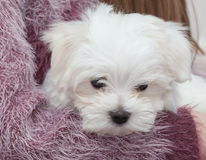 Maltese Puppy. Very cute Maltese Puppy 10 weeks old, from champion parents Stock Photo