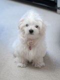 Maltese Puppy. Very cute Maltese Puppy 10 weeks old, from champion parents Royalty Free Stock Photo