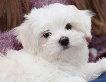 Maltese Puppy Stock Photography