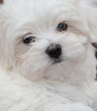 Maltese Puppy. Very cute Maltese Puppy 10 weeks old, from champion parents Royalty Free Stock Images