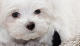 Maltese Puppy. Very cute Maltese Puppy 10 weeks old, from champion parents Stock Photos