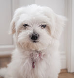 Maltese Puppy. Very cute Maltese Puppy 10 weeks old, from champion parents Royalty Free Stock Image