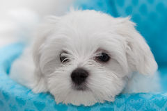 Maltese Puppy. Very cute Maltese Puppy 10 weeks old, from champion parents Stock Photography