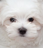 Maltese Puppy. Very cute Maltese Puppy 10 weeks old, from champion parents Royalty Free Stock Photos