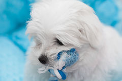 Maltese Puppy. Very cute Maltese Puppy 10 weeks old, from champion parents Stock Image