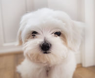 Maltese Puppy. Very cute Maltese Puppy 10 weeks old, from champion parents Royalty Free Stock Photography