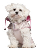 Maltese puppy wearing pink coat, 9 month old. Sitting in front of white background Stock Photo