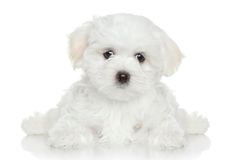 Maltese puppy on white background. Maltese puppy lying on white background Stock Image