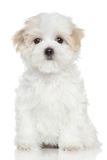 Maltese puppy on white background. Portrait of a Maltese puppy on white background Royalty Free Stock Photography
