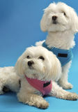 Maltese Pups. Little white maltese pets on a blue background Stock Photo