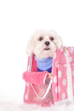 Maltese ready to go shopping Stock Images