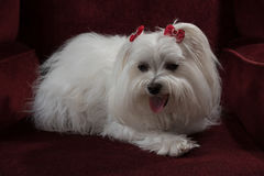 Maltese. With red bows resting Royalty Free Stock Photo