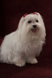 Maltese. With red bows sitting Royalty Free Stock Images