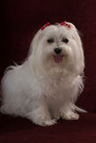 Maltese. With red bows sitting on a dark background Royalty Free Stock Photos