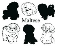 Maltese set. Collection of pedigree dogs. Black and white illustration of a Maltese dog. Vector drawing of a pet. Tattoo