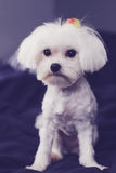 Maltese shaved down puppy cut vertical. Image of a maltese shaved down puppy cut vertical Royalty Free Stock Photo