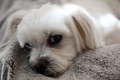Maltese shitzu cross. Cute Maltese shitzu cross looking at viewer Royalty Free Stock Image
