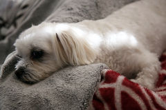 Maltese shitzu cross. Cute Maltese shitzu cross resting comfortably Stock Image