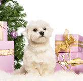 Maltese sitting. In front of Christmas decorations against white background Royalty Free Stock Photos