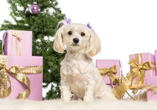 Maltese sitting. In front of Christmas decorations against white background Stock Image