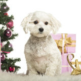 Maltese sitting in front of Christmas decorations. Against white background Royalty Free Stock Photo