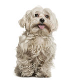 Maltese sitting. In front of white background Stock Images