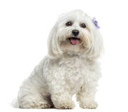Maltese sitting, panting, isolated. On white Royalty Free Stock Images
