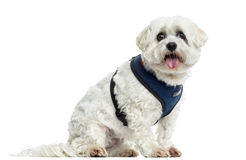 Maltese sitting, panting, isolated. On white Royalty Free Stock Photo