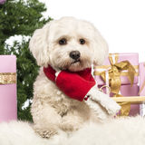 Maltese sitting and wearing a Christmas scarf. In front of Christmas decorations against white background Stock Photos