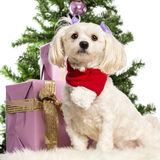 Maltese sitting and wearing a Christmas scarf. In front of Christmas decorations against white background Royalty Free Stock Photo