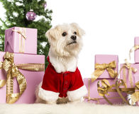 Maltese sitting and wearing a Christmas suit. In front of Christmas decorations against white background Stock Photo
