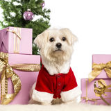 Maltese sitting and wearing a Christmas suit. In front of Christmas decorations against white background Stock Image