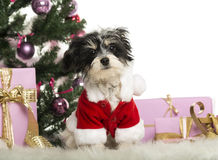 Maltese sitting and wearing a Christmas suit in front of Christmas decorations. Against white background Stock Image