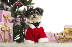 Maltese sitting and wearing a Christmas suit in front of Christmas decorations. Against white background Royalty Free Stock Photo