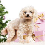 Maltese standing. In front of Christmas decorations against white background Stock Image