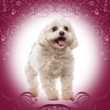 Maltese standing, panting. On a designed background Stock Photo