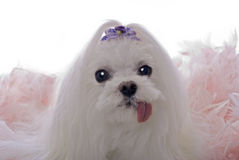 Maltese Sticking Tongue Out on White. A head study of a cute Maltese dog in a bed of pink feathers against a white 255 background Stock Images