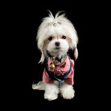 Maltese terrier. A cute maltese terrier dressed like a hillbilly cowgirl Stock Image