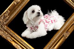 Maltese terrier Royalty Free Stock Images