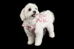 Maltese terrier Royalty Free Stock Photos