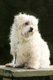Maltese Terrier Stock Photo